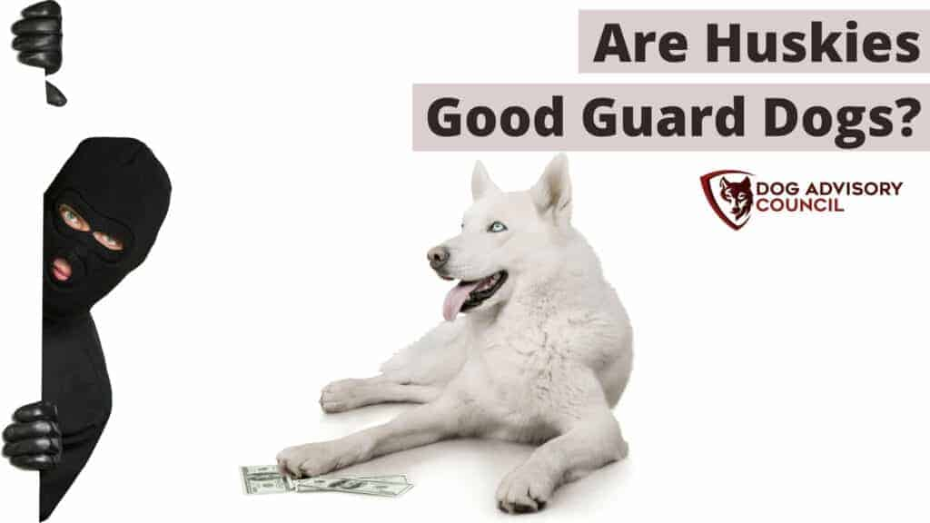 Are Huskies Good Guard Dogs? Photo of a Husky dog looking to a thief.