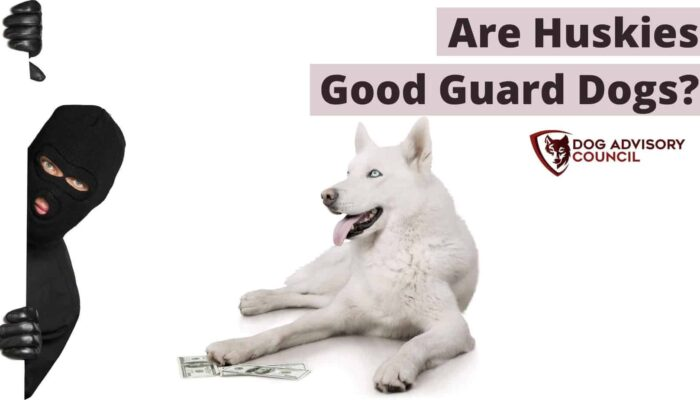 Are Huskies Good Guard Dogs? (How Protective Are Huskies?)