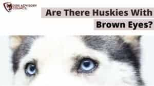 Are There Huskies with Brown Eyes?