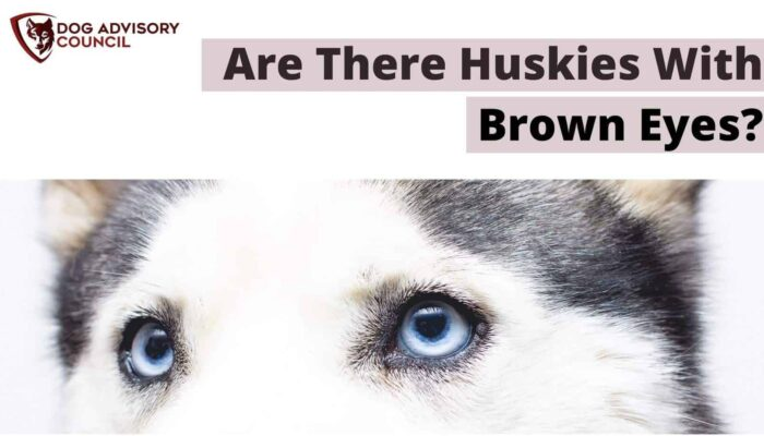 Are There Huskies with Brown Eyes? How Rare Is It?