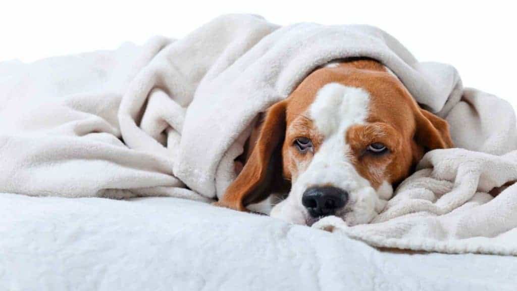 Photo of a dog sick in bed with parvo.