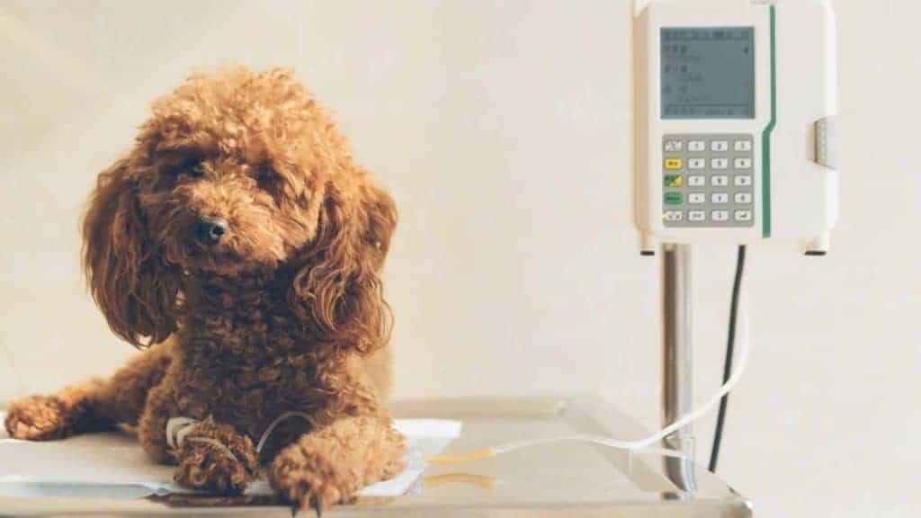 Photo of a dog sick with parvo in the vet hospital.