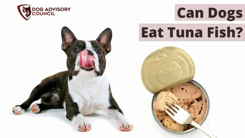 Can Dogs Eat Tuna Fish? Photo of a French Bulldog licking his lips with a can of tuna by his side.