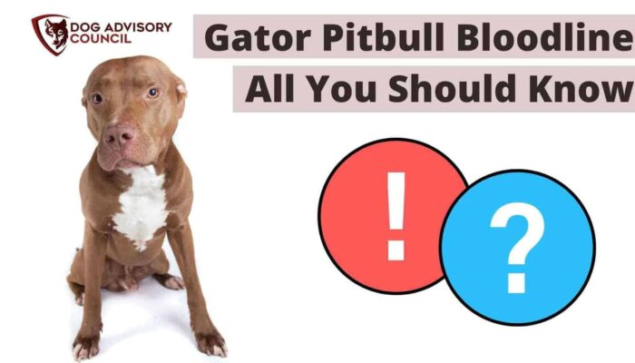 Gator Pitbull Bloodline – All You Should Know About Them