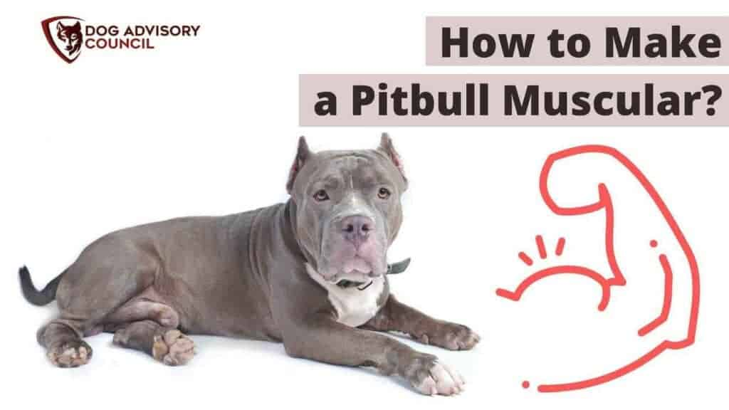 How to make a pitbull muscular. Photo of a muscular pitbull