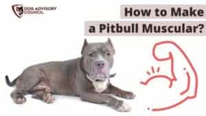 How to Make a Pitbull Muscular