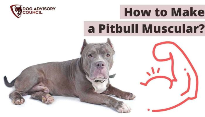 Pitbull Muscle – How to Make a Pitbull Muscular? (What to Feed and Exercises)