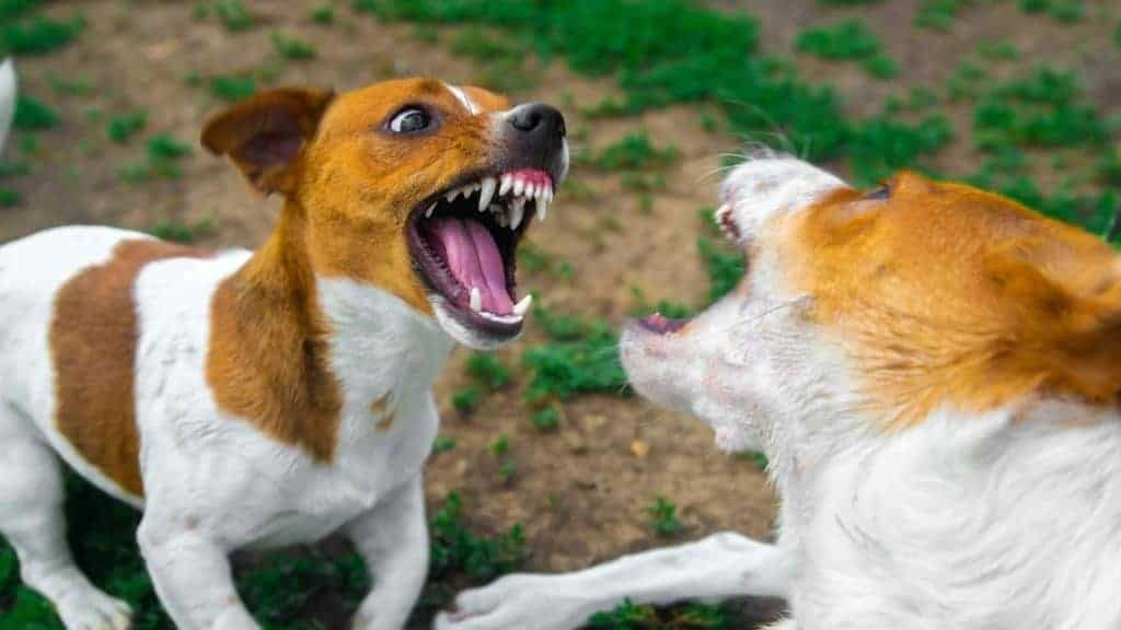 Photo of two jack Russel dogs attacking each other