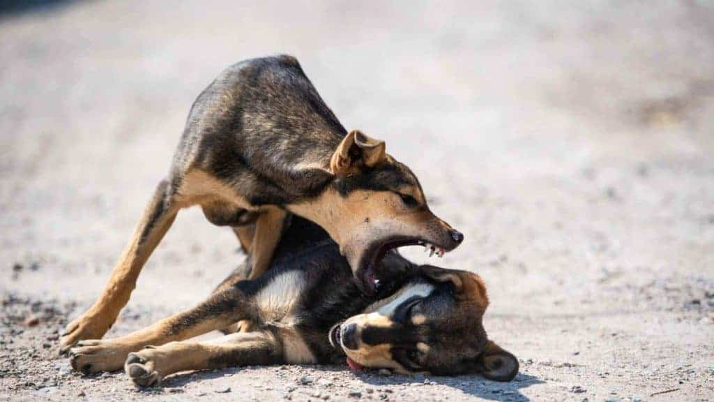 Photo of a dog attacking other dog laying on the ground for no reason.