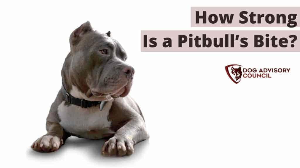 Pitbull Bite Force - How Strong Is a Pitbull's Bite? Photo of a Pitbull looking mean.