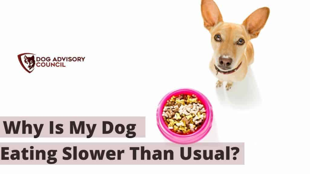 Why is My Dog Eating Slower Than Usual? Photo of a dog with food in front of him and not eating.