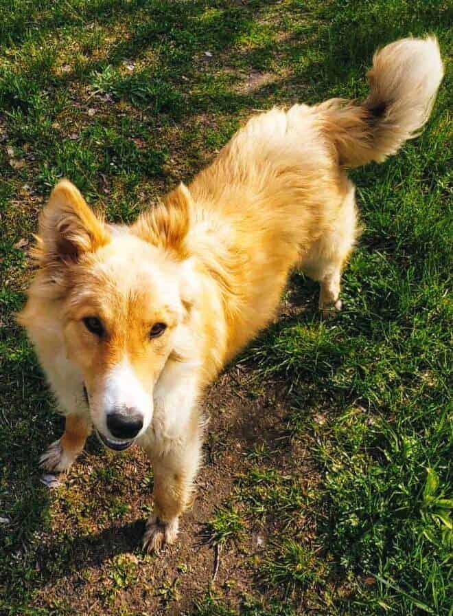 Photo of a Border Collie Golden Retriever mix dog with a yellow coat.