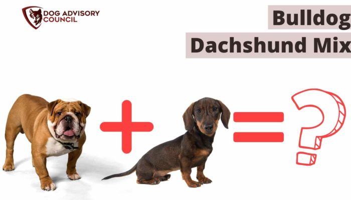 Bulldog Dachshund Mix – What's So Special About Them?