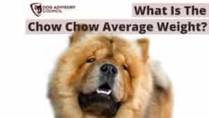 Chow Chow Average Weight