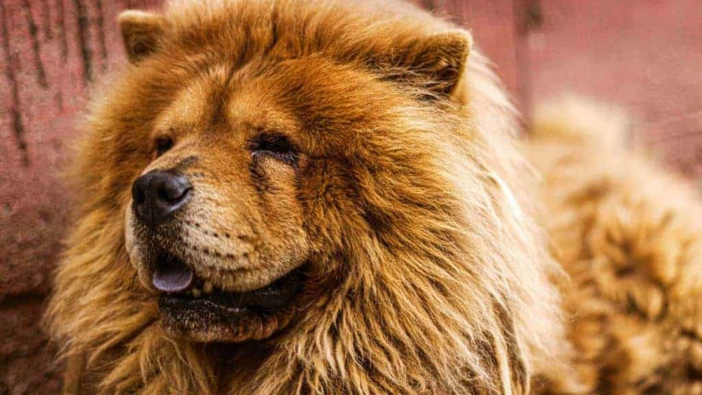 Photo showing how thick is the Chow Chow coat and how to deal with Chow Chow shedding.