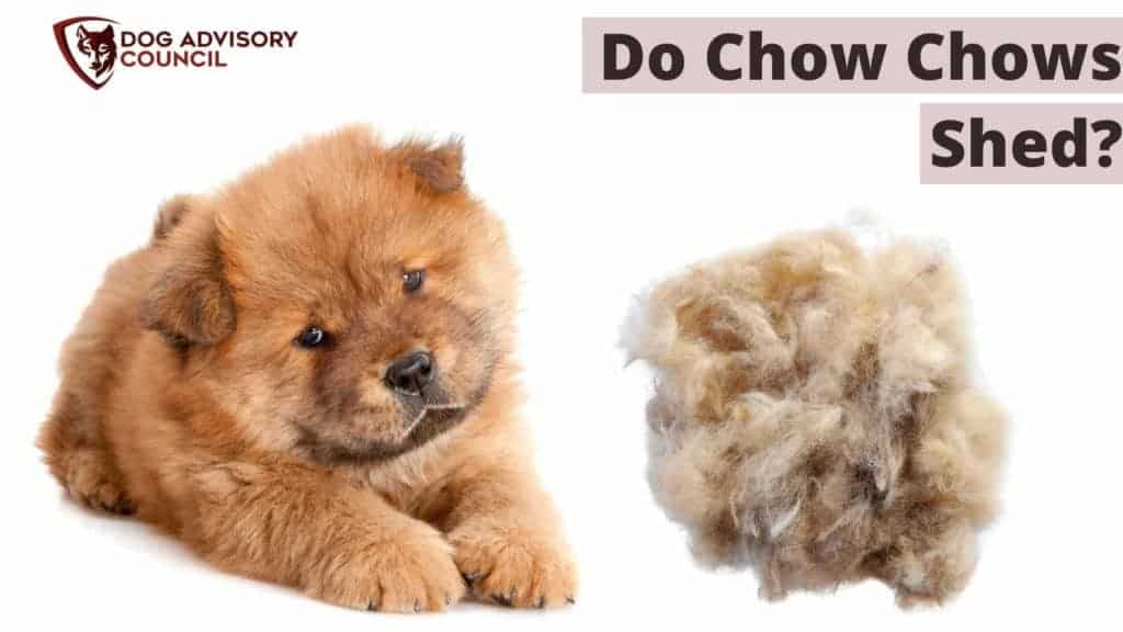 Do Chow Chows Shed a lot? Photo of a Chow Chow with his hair on the ground