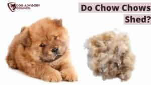 Do Chow Chows Shed a lot?