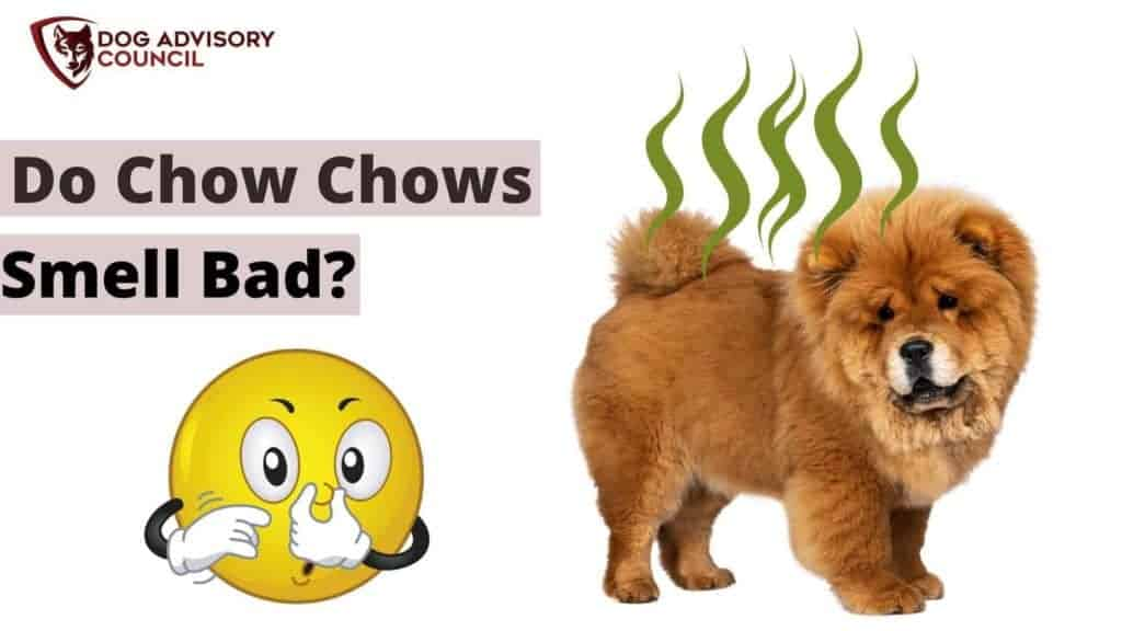 Do Chow Chows Smell Bad? Photo of a Chow Chow dog smelling bad