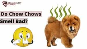 Do Chow Chows Smell Bad