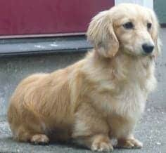 Photo of a Golden Retriever Dachshund mixed dog laying down.