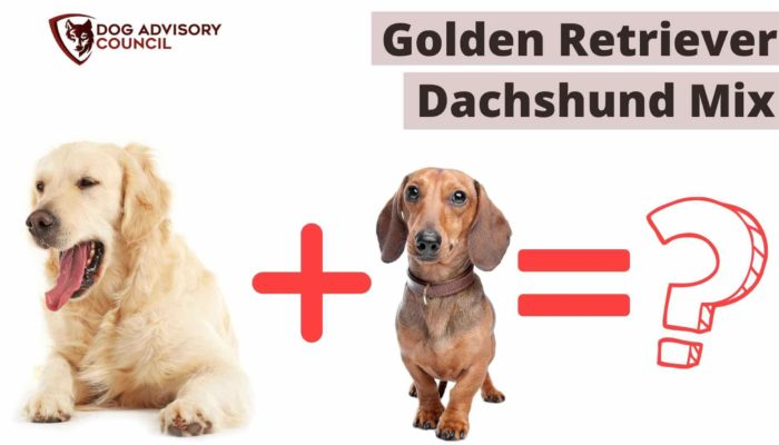 Golden Retriever Dachshund Mix What Should You Know About?