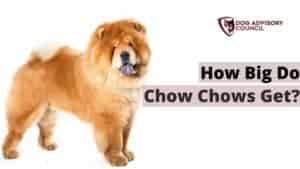 How Big Do Chow Chows Get?