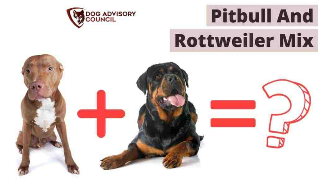 Pitbull and Rottweiler Mix (Pitweiler). Photo of a Pitbull and a Rottweiler.