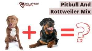 Pitbull and Rottweiler Mix (Pitweiler)