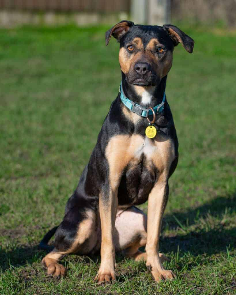Photo of a Pitweiler sitting down and looking forward.